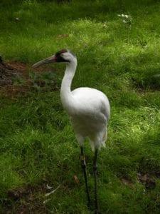 whooping-crane-1392973_1920