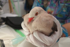 Adult pink pigeon after a full health check and disease screening