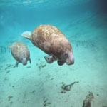 Manatee and pup