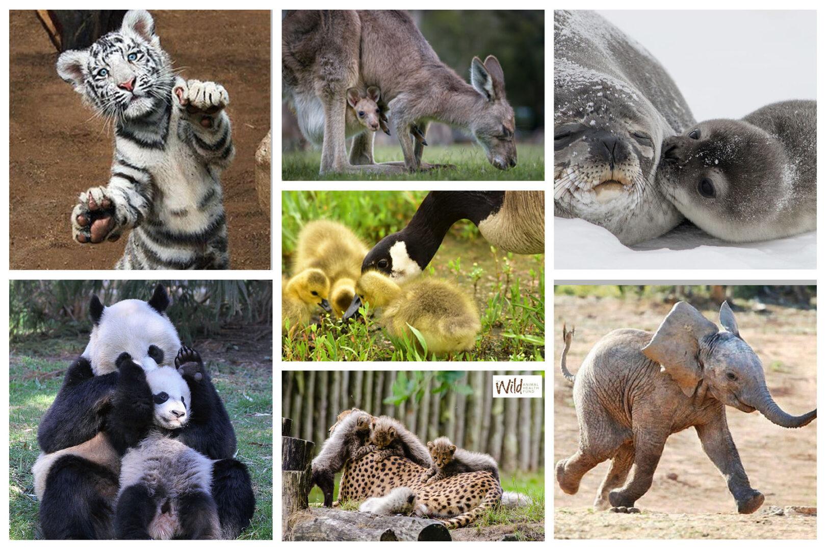 Baby-Animals-Collage - Wild Animal Health Fund