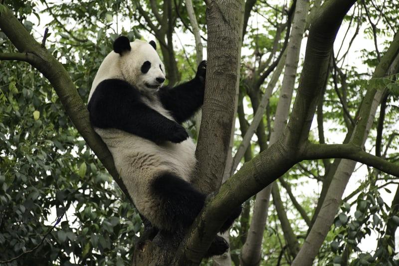 the Endangered Great Panda