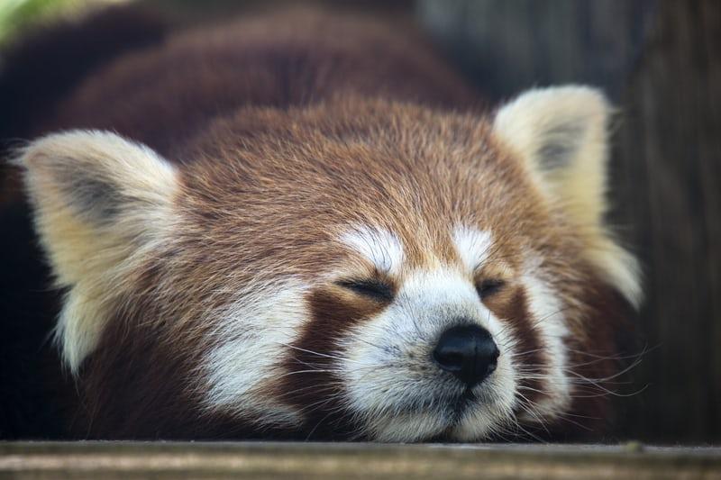 Young Red panda