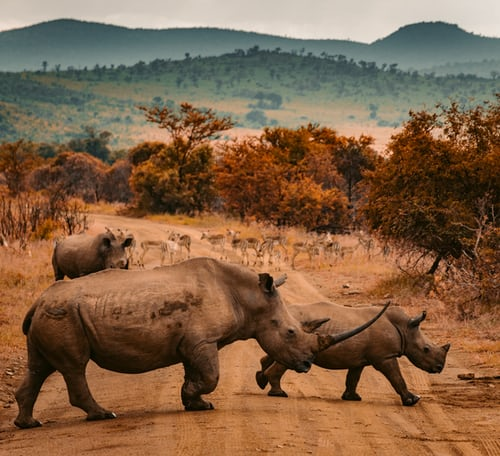 Large rhinos crossing road