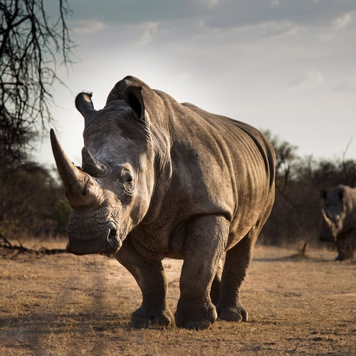 Large male White Rhino