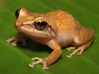 A small yellow/orange frog sits on a leaf. This is the invasive coqui frog