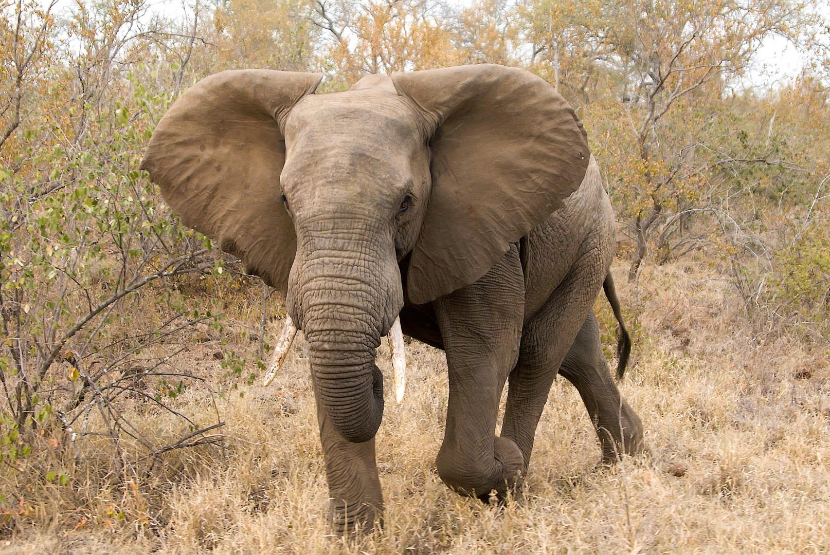 elephant for websitte