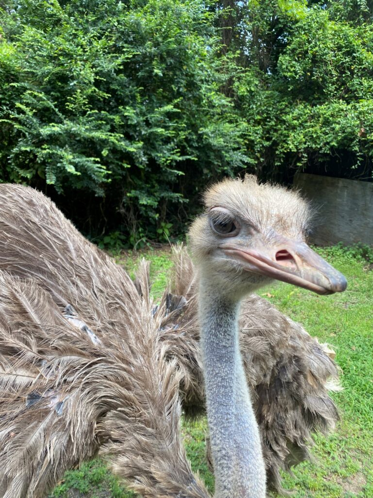 Pearl the ostrich looks at camera