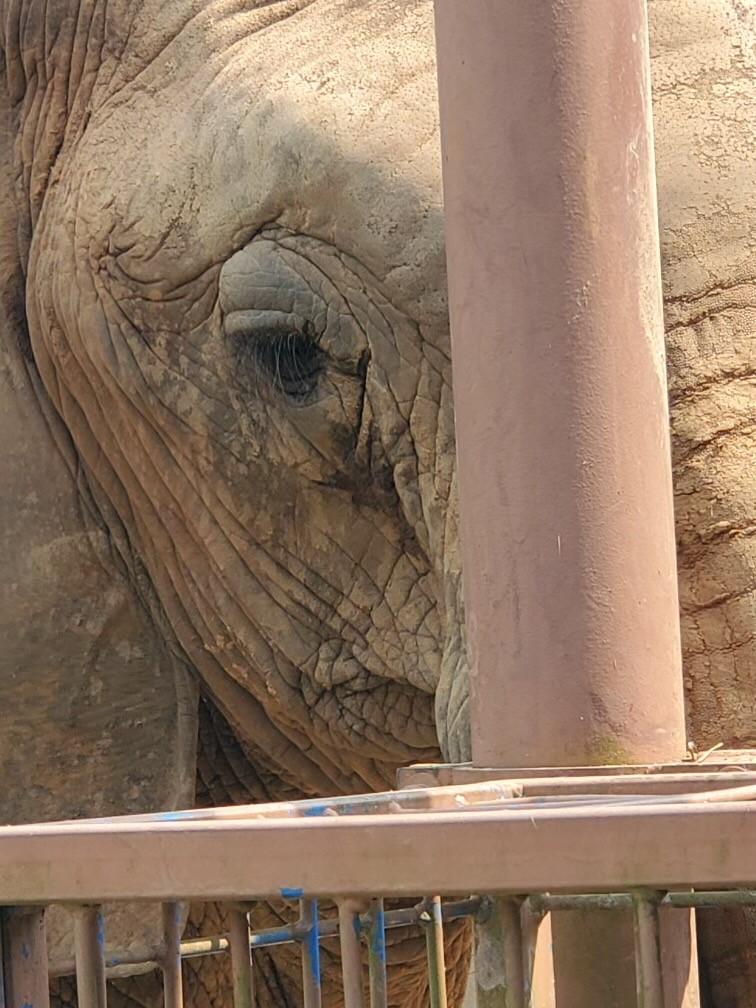 Nekhana the elephant squints at camera