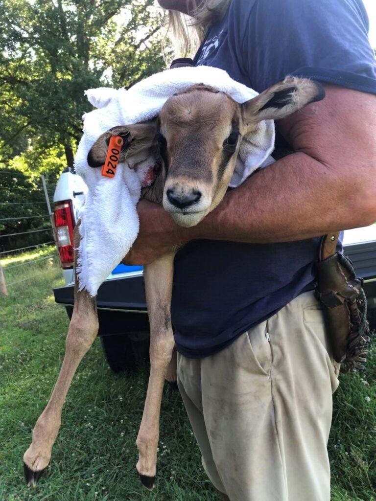 NC Zoo staff holding a fringe eared oryx calf