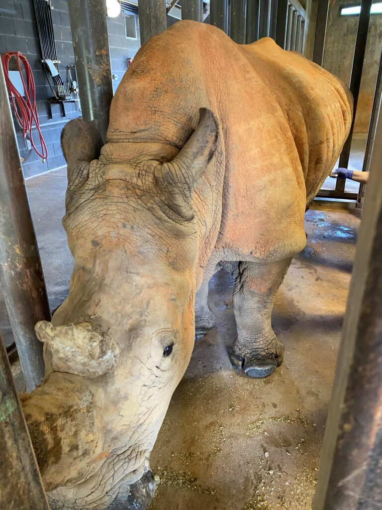 Olivia, the Southern white rhino is in a medical holding area during her exam