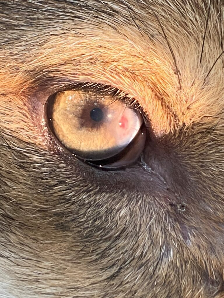 Close up picture of the red wolf puppy's eye