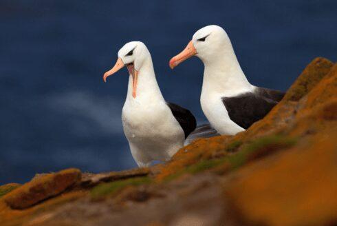albatross resize