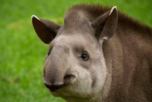 resize tapir 2
