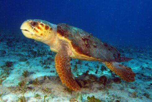resize turtle