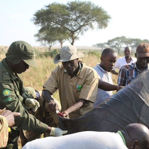 Dr. Watuwa in the field drawing blood from an African elephant