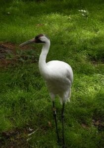 whooping-crane-1392973_1920